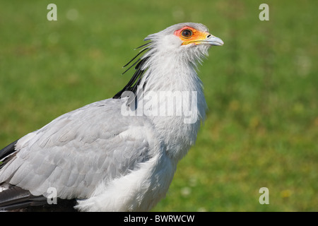 Secretarybird, Secretary bird, Sagittarius serpentarius close-up - Stock Photo