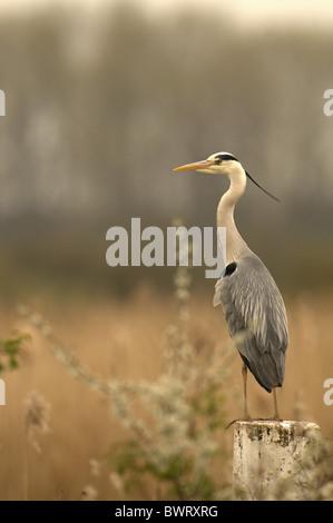 Grey Heron Ardea Cinerea Perched On Tree. Norfolk Broads. Spring Uk - Stock Photo