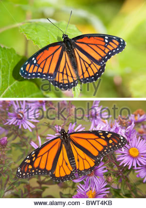 The Viceroy Butterfly top image resembles the Monarch bottom image an example of Müllerian Mimicry in Toronto Ontario - Stock Photo