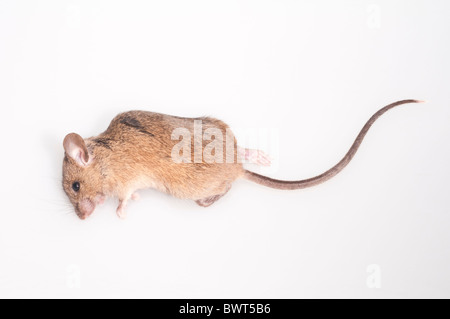 Dead house mouse, Mus musculus; cutout with white background - Stock Photo