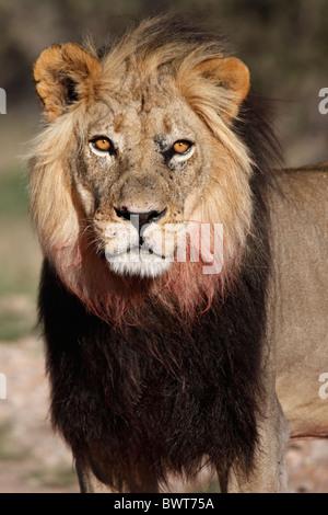 Dominant male Kalahari lion, Loewe lion Panthera leo, South Africa, Botsuana, Kgalagadi Transfrontier Park - Stock Photo