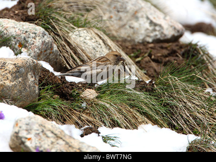 Plain Mountain-finch (Leucosticte nemoricola altaica) adult, feeding on insect, Ili-Alatau N.P., Almaty, Kazakhstan, - Stock Photo