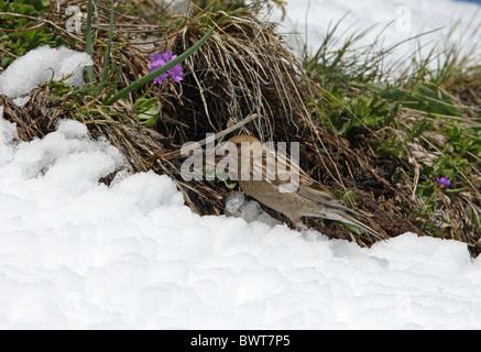 Plain Mountain-finch (Leucosticte nemoricola altaica) adult, feeding at snowline, Ili-Alatau N.P., Almaty, Kazakhstan, - Stock Photo