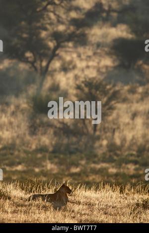 Kalahari lion,Loewe lion Panthera leo, lioness, female, Kgalagadi Transfrontier Park, South Africa - Stock Photo