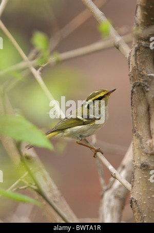 Pallas's Warbler (Phylloscopus proregulus) adult, perched in bush, Hebei, China, may - Stock Photo