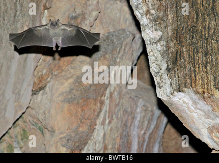 Egyptian Rousette Bat Rousettus aegyptiacus adult - Stock Photo
