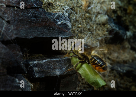 Patchwork Leaf-cutter bee (megachile centuncularis) coming in to land with an egg wraped up in a leaf. - Stock Photo