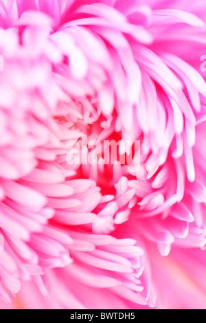 beautiful bright pink aster Jane-Ann Butler Photography JABP907 - Stock Photo