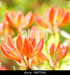 lovely orange azalea buds, harmony in nature Jane-Ann Butler Photography JABP910 - Stock Photo
