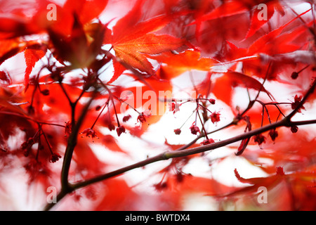 atmospheric red maple tree Jane-Ann Butler Photography JABP909 - Stock Photo