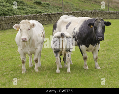 british blue cow