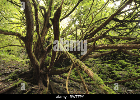 Common Taxus yew baccata ancient knarled twisted moss mossy nature natural wild wildlife environment environmental - Stock Photo