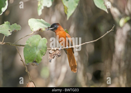Black-headed Paradise-flycatcher (Terpsiphone rufiventer) adult female, perched on twig, Gambia, december - Stock Photo
