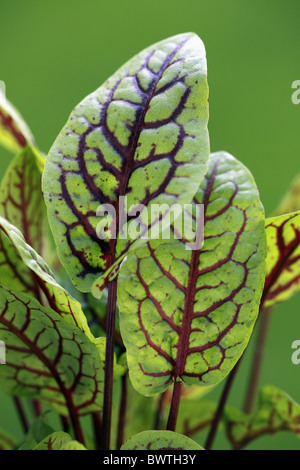 Blaetter - leaves plant plants sorrel sorrels dock docks 'buckler-leafed' 'leaf-shield' herbaceous polygonaceae - Stock Photo