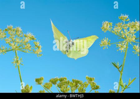 Brimstone Butterfly Gonepteryx rhamni in flight UK - Stock Photo