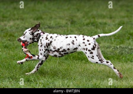 Dalmatian Dog UK in garden - Stock Photo