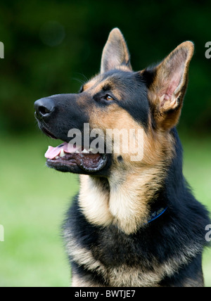 German Shepherd Dog Alsatian UK - Stock Photo