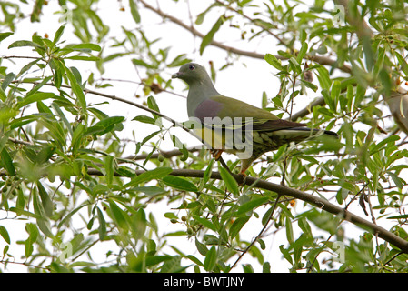 Bruce's Green-pigeon (Treron waalia) adult, perched in fruiting tree, Ethiopia, april - Stock Photo