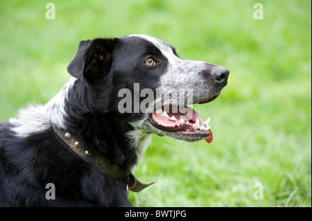 Crossbred Dog UK - Stock Photo