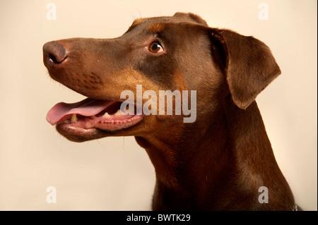Dobermann Dog UK - Stock Photo