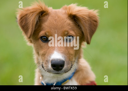 Collie Crossbred Dog Puppy UK - Stock Photo
