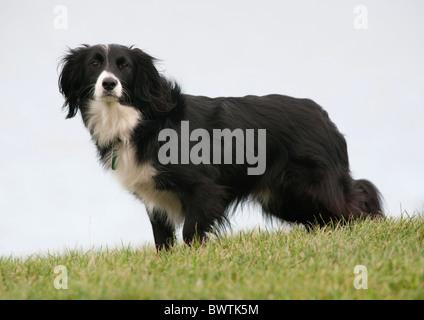 Collie Crossbred Dog UK - Stock Photo