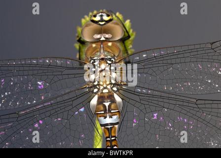 Dragonfly Common aeshna Aeshna juncea male UK - Stock Photo