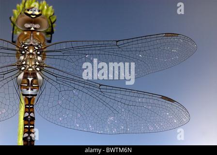 Dragonfly Common aeshna Aeshna juncea UK - Stock Photo