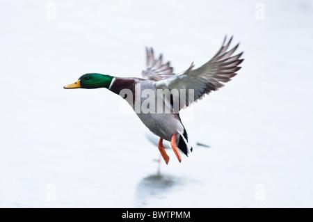 Mallard drake landing on a frozen lake. UK - Stock Photo