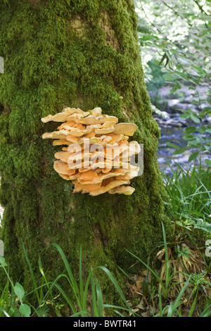 Yellow Bracket Fungus growing on a tree beside the River Barle on Exmoor, Somerset - Stock Photo