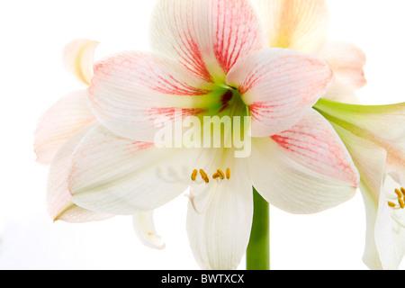 White Amaryllis, Hippeastrum - Stock Photo