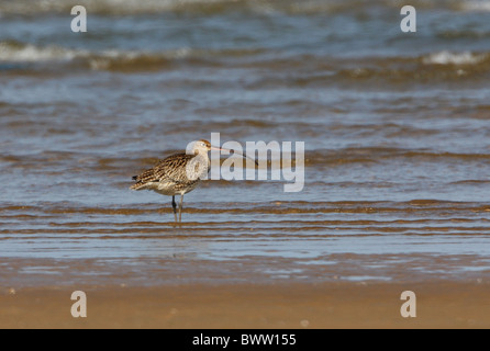 Far Eastern Curlew (Numenius madagascariensis) adult, standing in edge of water, Beidaihe, Hebei, China, may - Stock Photo