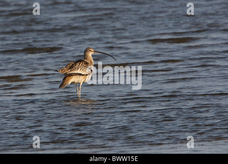 Far Eastern Curlew (Numenius madagascariensis) adult, standing in shallow water, Beidaihe, Hebei, China, may - Stock Photo