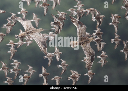 Far Eastern Curlew (Numenius madagascariensis) two adults, in flight amongst wader flock, Mai Po, Hong Kong, China, - Stock Photo