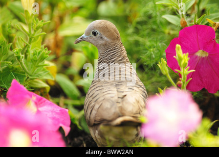 Peaceful Dove (Geopelia placida) adult, amongst flowers, Rama IX Park, Bangkok, Thailand, february - Stock Photo