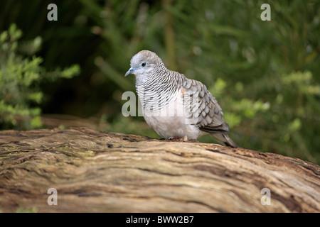 Peaceful Dove (Geopelia placida) adult, perched on log, Australia - Stock Photo