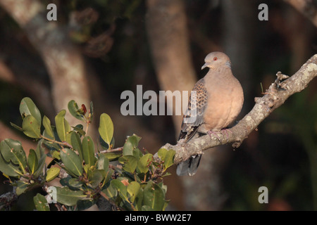 Oriental Turtle-dove (Streptopelia orientalis) adult, perched on mangrove branch, Mai Po, Hong Kong, China - Stock Photo