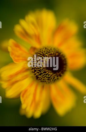 A single yellow gold Helenium 'Butterpat'  Flower head - Sneezewort - Stock Photo