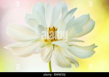 A single white Cosmos flower 'Psyche White' - Cosmea Bipinnatus - Stock Photo