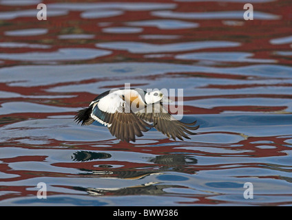 Steller's Eider (Polysticta stelleri) adult male, in flight, taking off from water, Varanger Fjord, Norway, march - Stock Photo