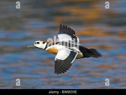 Steller's Eider (Polysticta stelleri) adult male, summer plumage, in flight over sea, Northern Norway, march - Stock Photo