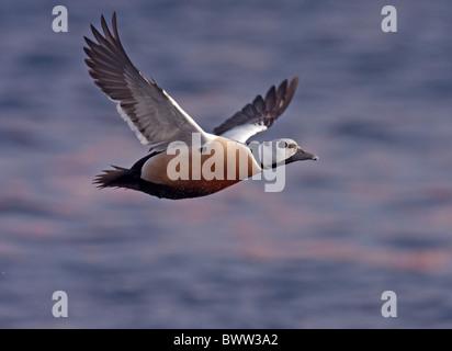 Steller's Eider (Polysticta stelleri) adult male, in flight over sea, Northern Norway, march - Stock Photo