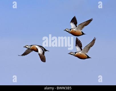 Steller's Eider (Polysticta stelleri) three adult males, in flight, Northern Norway, march - Stock Photo