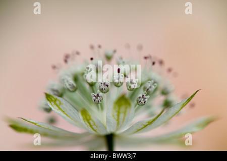 A single flower head of Astrantia major 'Large white' - Masterwort - Stock Photo