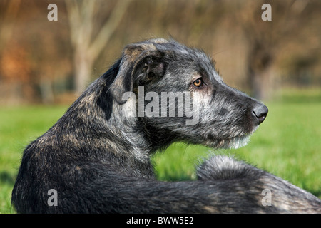 Irish wolfhound (Canis lupus familiaris) close up in garden - Stock Photo