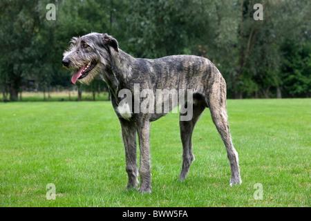 Irish wolfhound (Canis lupus familiaris) in garden - Stock Photo