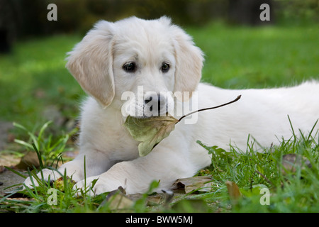 Golden retriever (Canis lupus familiaris) pup playing with leaf in garden - Stock Photo
