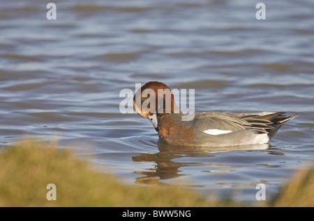 Eurasian Wigeon (Anas penelope) adult male, preening on water, Nofolk, England, winter - Stock Photo