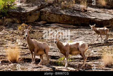 USA, Idaho,Wildlife, Rocky Mountain Bighorn Sheep, Rafting the Middle Fork of the the Salmon Frank Church wilderness. - Stock Photo