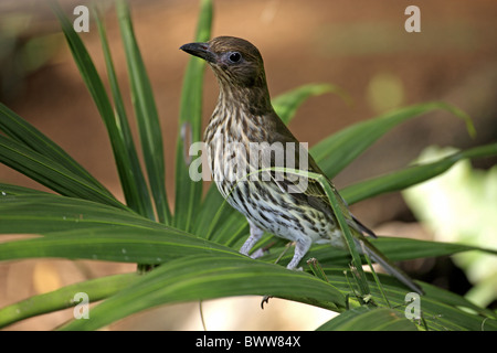 Green Figbird (Sphecotheres viridis) adult female, perched on frond, Australia - Stock Photo